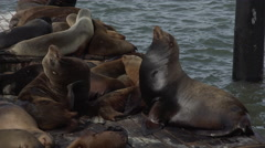 Sea lions sunning on the pier Stock Footage