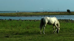Poel, grazing horse Stock Footage