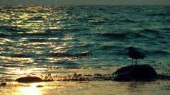 Seagull enjoying a sunset sitting on a rock having feierabend Stock Footage