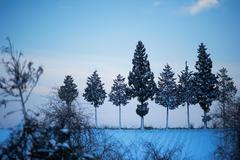 Winter trees in row at dusk Stock Photos