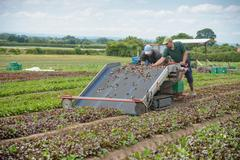 Workers using salad leaf harvesting machine on herb farm - stock photo