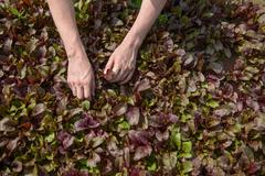 Close up of worker picking salad crops on herb farm - stock photo