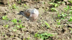 European turtle dove, Streptopelia turtur Stock Footage