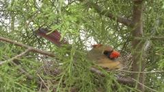 Amid Nature - Mother cardinal bird - stock footage