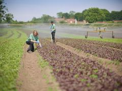 Workers kneeling to inspect salad crop in herb farm Stock Photos
