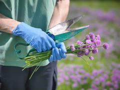 Farm worker holding fresh chives from herb farm - stock photo