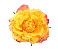 Closeup view of yellow rose - stock photo
