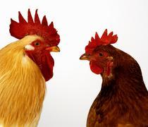 Hen and cockerel - stock photo