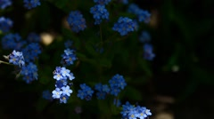 Blue forget-me-nots Stock Footage