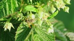 Common Wasp ( Vespula vulgaris Stock Footage