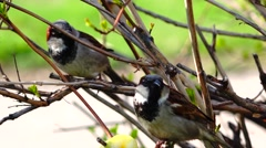 Sparrows eating apple with pleasure. - stock footage