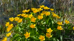 Marsh marigold blooming. Stock Footage