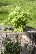 Sprouted sapling in oak log Stock Photos