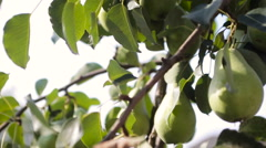 Green pear tree camera movement Stock Footage