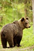 Brown bear (Ursus arctos) walking through forest, Taiga Forest, Finland Stock Photos