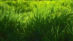 Greeen environment. Fresh spring grass backlit by sun Stock Footage