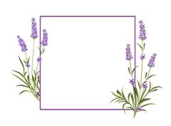 Bunch of lavender - stock illustration