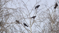 The Nests of Rooks on the Birches in the Early Spring, the First Blue Sky Grass Stock Footage
