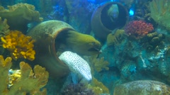 One white laced moray and two green morays using jugs as a holes in oceanarium Stock Footage