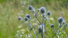 Bur in a Field Sways in the Wind. Burdock Plant Stock Footage