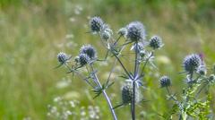 Bur in a Field Sways in the Wind. Burdock Plant Stock Footage