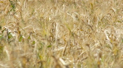 Ripening Ears of Yellow Wheat Field. Agriculture. Sunny Summer Day Stock Footage