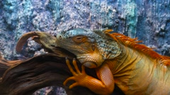 Сolourful iguana on a tree branch in terrarium. Panning from head to tail Stock Footage