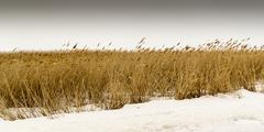Tall dried yellow grass stalks blow and mine in a wind in a field covered in  Stock Photos