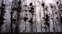 Silhouettes Rooks Nesting in the Trees in Early Spring on the Sky Background Stock Footage