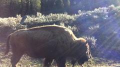 Bison, Buffalo, Yellowstone Family Vacation POV Stock Footage