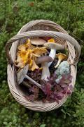Cantharellus cibarius (chanterelle) and Boletus edulis (porcini) mushrooms Stock Photos