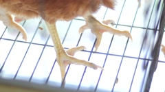 Chicken foot in egg production Stock Footage