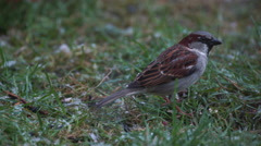 Sparrow in grass as heavy snow falls from the sky Stock Footage