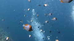 School of Pyramid butterflyfish. - stock footage