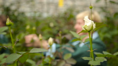 Woman caring for flowers in the greenhouse on the background of white roses - stock footage