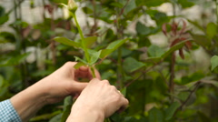 Hands to break off the superfluous shoots from rose bushes Stock Footage
