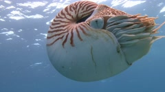 Fantastic dive with Nautiluses. Stock Footage