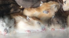 A group of hamsters are sleeping, very comfortable. Stock Footage