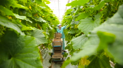 Woman harvesting cucumbers in the greenhouse - stock footage