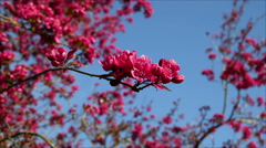 Red cherry blossom in Canon Hill Park, Birmingham. Stock Footage