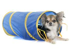 Chihuahua in agility Stock Photos