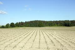 Corn field, summer - stock photo