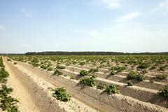 Agriculture,   potato field Stock Photos