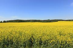Rape field ,  Blue sky. - stock photo