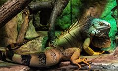 Green iguana - Iguana iguana, animal portrait - stock photo