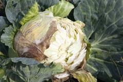 Rotten cabbage, close-up Stock Photos