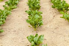 Field with sugar beet Stock Photos