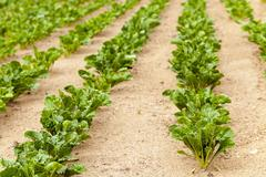 Field with beetroot Stock Photos