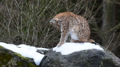 Lynx licking fur clean in the taiga in the snow in winter Stock Footage