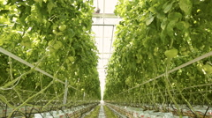 Growing tomatoes in a greenhouse Stock Footage